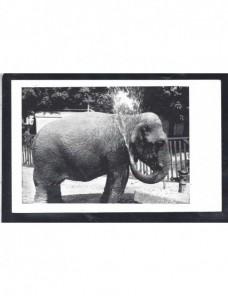 Tarjeta postal ilustrada Alemania elefante de circo Alemania - 1931 a 1950.
